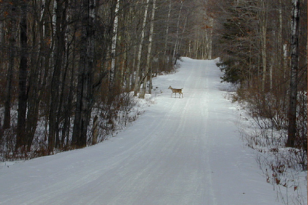 Deer on Snowmobile Trail