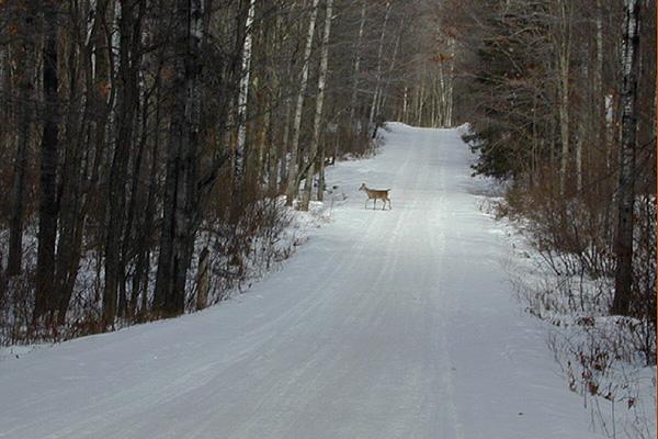 Deer on Snowmobile Trail